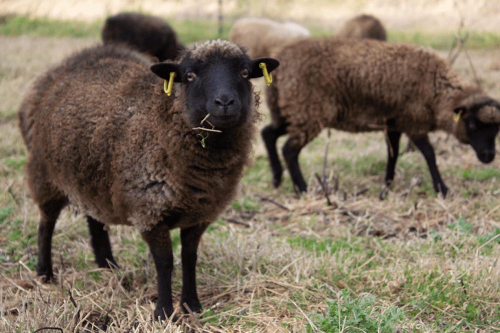 Land-sheep assurance vétérinaire