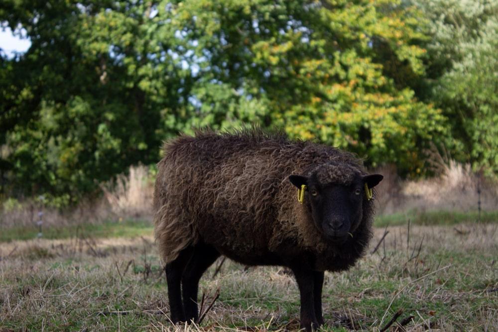 Land-sheep FAQ